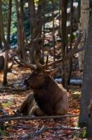 Barren trees stand in the wilderness of Omega Park in Montebello, Quebec as a Wapiti Bull rests peacefully allowing us to take his picture.
