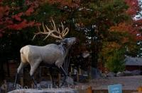Colorful Autumn trees surround a Wapiti statue at the entranceway to Parc Omega in Montebello, Outaouais in Quebec.