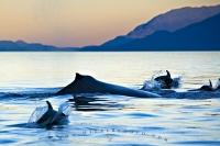 A humpback whale is surrounded by playful dolphins during sunset on a fine evening. This photo also shows the beautiful mountain scenery that surrounds Johnstone Strait.