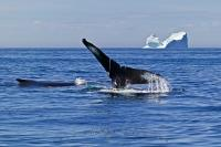 Two humpback whales playing, one showing its tail, in front of an iceberg in the Atlantic Ocean off the Newfoundland coast, Newfoundland Labrador, Canada.