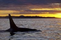 A golden sky silhouettes an orca during a whale watchinig tour from Northern Vancouver Island in BC, Canada.