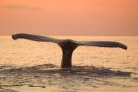 Photo of a Humpback Whale Tail with beautiful sunset taken on a whale watching tours