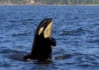A young baby orca whale spy hops in front of a bc whale watching boat in Johnstone Strait off Vancouver Island to get a better look at its surroundings.
