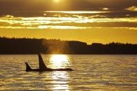 Whale Watching Ocean Sunset Northern Vancouver Island