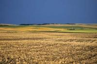 A typical prairieland vision of a rolling field with ripening Wheat in Southern Saskatchewan of Canada.