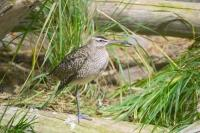 One of the species of bird at the Biodome in Montreal is the Whimbrel.