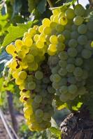 Highlighted by the light, these clusters of white grapes bask in the warmth of the sun in the beautiful Okanagan Valley. Grapes are among the most commonly seen fruit grown in the Okanagan.