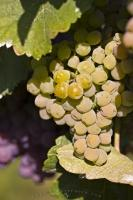 White Grapes Grapevines