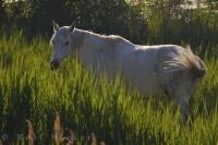 A beautiful white horse grazes peacefully on the tall grass in the Camargue in the Bouches du Rhone region of France. The agile Camargue horse is actually born black or dark brown developing its white coat over time.