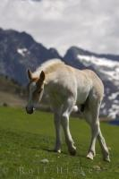 A young white horse wanders across the fields in the Bonaigua Pass in the Pyrenees mountains in Catalonia, Spain looking for a quiet place to graze.
