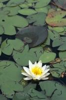 In Algonquin Provincial Park in Ontario, Canada a water lily blossoms flaunting its white petals and yellow center.