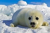 This baby harp seal otherwise known as a white coat, belongs to the Gulf sub population of Harp Seals in the North Atlantic Ocean.