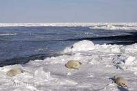 A small gathering of white baby Harp Seals on the ice floes in the Gulf of St Lawrence in Canada near Newfoundland.