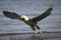 Photo of wild birds, an bald eagle