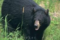 Wild Black Bear Ontario