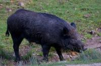 A Black Wild Boar wandering around the grassland of Parc Omega in Montebello, Outaouais, Quebec in Canada.