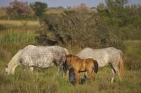 Wild Camargue horses of France grazing in the high grass.