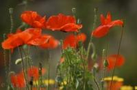 Wild Flowers Red Poppies