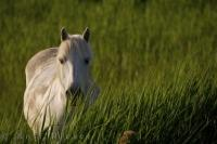 A cute wild horse peers out from behind the grass in the Parc Naturel Regional de Camargue, Provence, France.