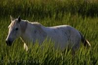 Roaming free and wild, a Camargue horse in the Parc Naturel Regional de Camargue in the Bouches du Rhone, Provence, France.