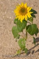 A wild sunflower grows along the roadside of the Ruta de los Almoravides in the Province of Cadiz in Andalusia, Spain.