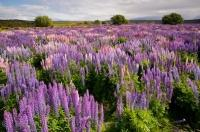 Lupin Wildflower Photo