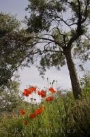 Amongst the olive tree terraces in the village of Moustiers Ste Marie in Provence, France, a wildflower mixture grows, but the red poppies are the prominent flowers.
