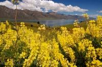 Yellow Tree Lupins are a wildflower which grows in abundance along the roadside in Central Otago.