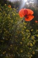 Wildflowers Poppies Village Moustiers Ste Marie Provence France