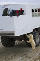 An inquisitive polar bear checks out the chassis of a tundra buggy during a tour in the Churchill Wildlife Management Area in Manitoba, Canada.