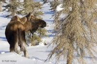 wildlife moose