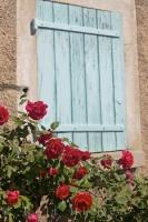 A rose bush full of red flowers looks attractive beside a closed blue window shutter in the village of Gourdon, Alpes Maritimes, Provence, France.