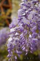 The fragrant blooms of Wisteria Sinensis adorn many gardens throughout the world during spring.