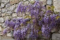 The beautiful climbing plant, Wisteria graces the garden in spring throughout the village of Lucchio in Tuscany, Italy.