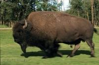 A large wood bison running through the green field in Elk Island National Park in Alberta, Canada.