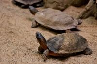 Wood turtles slowly make their way across the landscape in the Laurentian Forest at the Biodome de Montreal in Montreal, Quebec which gives us plenty of time to snap their picture.