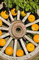 The spokes of an old wooden wheel are adorned by small orange squashes in a fall display outside a produce stall in Keremeos, Okanagan, BC, Canada.