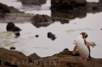 Scratching is one type of behavior a Yellow-eyed Penguin does often, especially after returning to land in Otago, New Zealand where people can observe these cute birds.