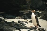 Yellow Eyed Penguin Bird Watching New Zealand