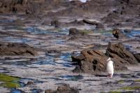 A lonely Yellow-Eyed Penguin on a walk across the Fossil Forest at Curio Bay on the South Island of New Zealand on its way back to its nest.