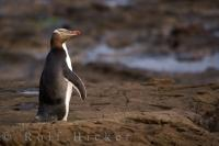 The Yellow Eyed Penguin is a protected endemic bird species found in the South Island of New Zealand.