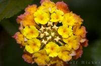 Lantana Tropical Plant