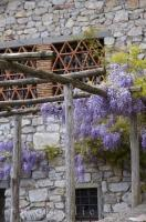 The fragrant Wisteria Sinensis clings to the side of a house in Lucchio, Tuscany in Italy, Europe.