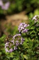 A bee perches on a thyme flower at La Source Parfumee Gardens in Provence, France in Europe.