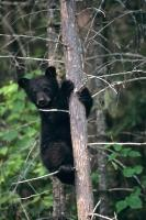 A young black bear climbs up a tree in Ontario, Canada to protect himself from the world below.