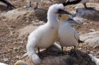 A Young Australasian Gannet, proper name Morus serrator, is only six to eight weeks old in this photograph and is shown with an adult Australasian Gannet. These birds are found in Hawkes Bay on the North Island of New Zealand.