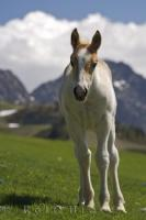 A young white foal, with a caramel colored head, roams freely in the mountain pass in the Pyrenees in Catalonia, Spain in Europe.
