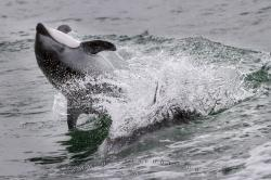 Acrobatic Pacific White Sided Dolphin