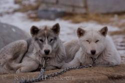 Arctic Dog Breeds Canadian Eskimo Dog Puppies