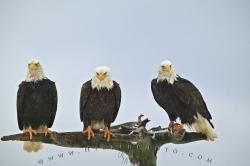 Three Resting Bald Eagles Snowing